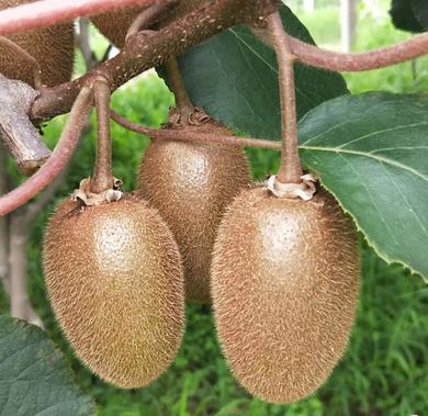 无公害有机猕猴桃【天然水果】