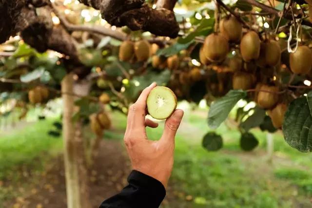 在全国猕猴桃中陕西省猕猴桃面积和产量均居第一位