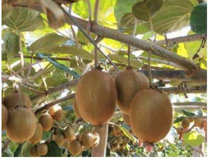 农业大学高材生,带领村民种植猕猴桃,人均增收8000元