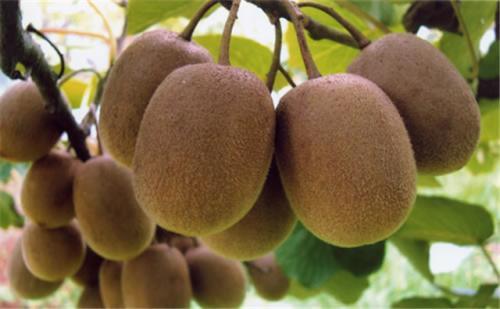 预售    海沃德猕猴桃