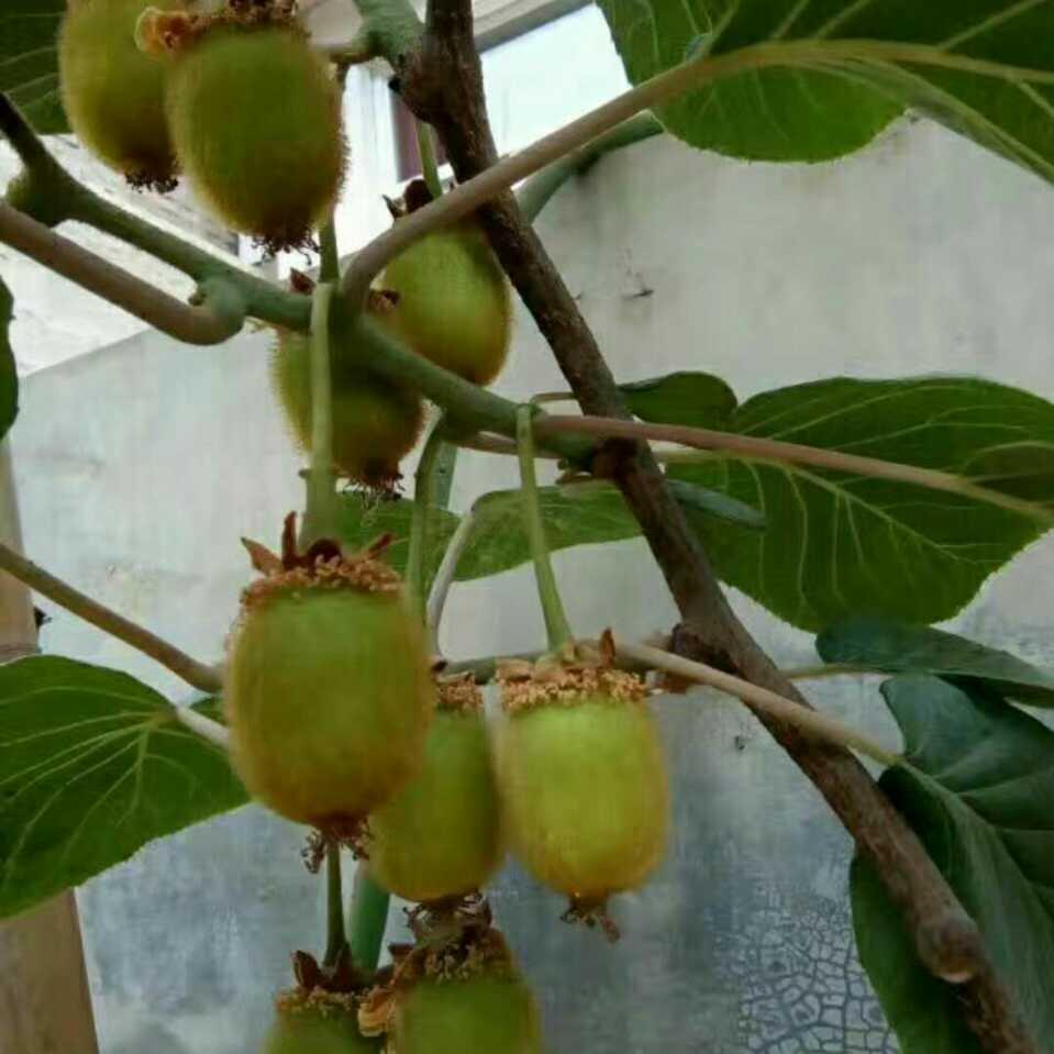 刘新满猕猴桃种植基地