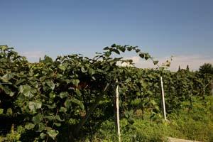 都江堰市同昌猕猴桃种植有限责任公司