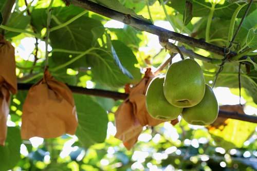 红阳猕猴桃种植示范园