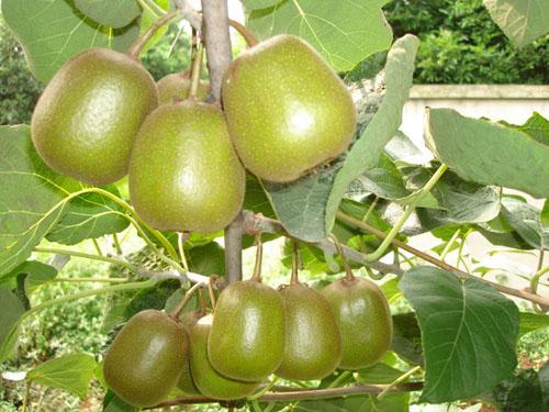 红阳猕猴桃鲜果