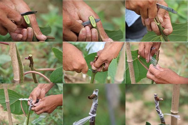 猕猴桃树怎么分 公母-春季猕猴桃管理图片