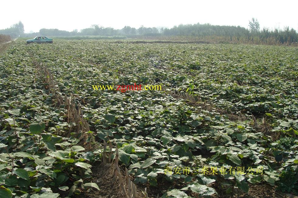 专供猕猴桃苗-全国最大的猕猴桃苗繁育基地